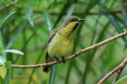 Female Olive-backed Bulbul