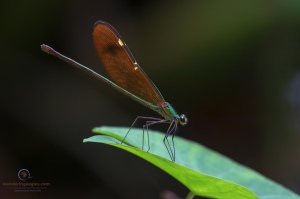 Stream Glory, Neurobasis chinensis (Female)
