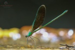 Stream Glory, Neurobasis chinensis (Male)