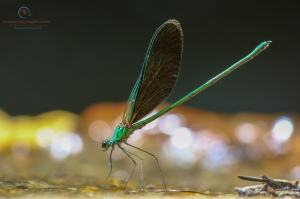 Stream Glory, Neurobasis chinensis (Male)
