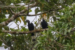 A pair of Asian Black Hornbills from a distance