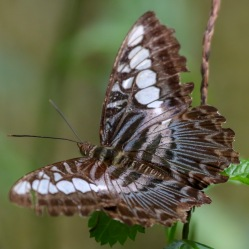 A rather tatty Clipper Butterfly