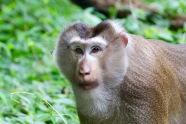 Male Pig-tailed Macaque