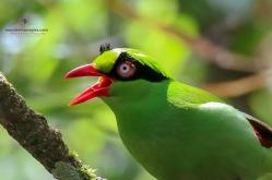 Bornean Green Magpie