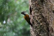 Flame-back woodpecker