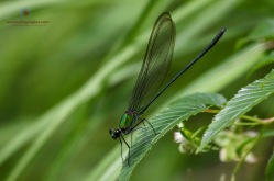 Flashwing Damselfly - Vestalis amethystina