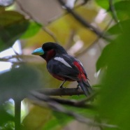 Black and Red Broadbill