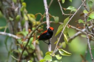 Scarlet backed Flowerpecker