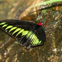 Rajah Brooke Birdwing butterfly - Trogonoptera brookiana