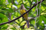 Female Orange breasted Trogon