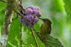 Purple-napped Sunbird