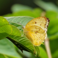 Common grass yellow, Eurema hecabe, Borneo