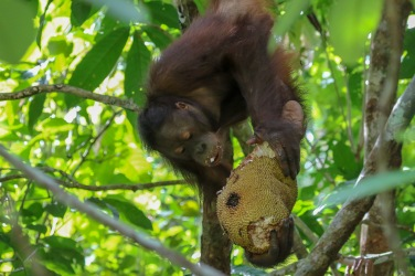 A young Orangutan enjoying a Jackfruit
