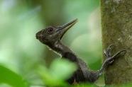 Immature Orange-backed Woodpecker