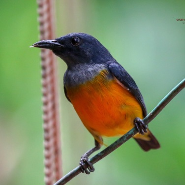 Orange-breasted Flowerpecker
