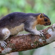 Creamed-coloured Giant Squirrel