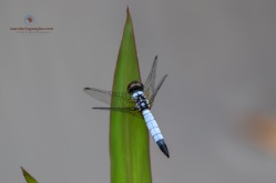 Pond Adjutant- Aethriamanta Gracilis