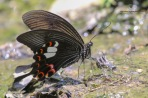 The Red Helen Butterfly. Papilio helenus helenus.
