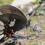 The Red Helen Butterfly. Papilio helenus helenus.