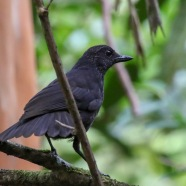 Immature Bornean Laughing Thrush