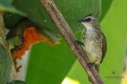 Yellow-vented Bulbul on the Papaya