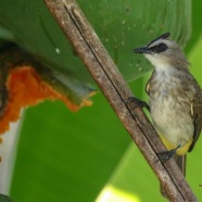 Yellow-vented Bulbul on the Papaya