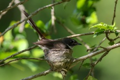 Malaysian Pied Fantail on nest
