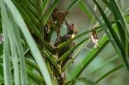 Buff-necked Woodpecker (male)