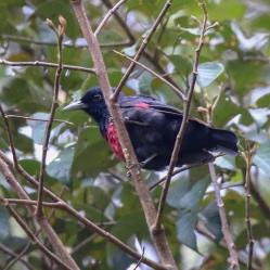 Black-crimson-Oriole - Oriolus cruentus