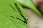 Flashwing Damselfly - Vestalis amethystina
