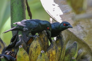 Asian Glossy Starlings feeding on Banana