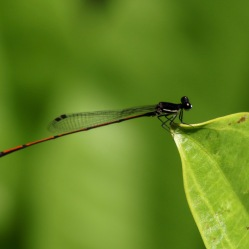 Unknown Damselfly