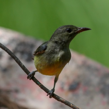 Female Orange-breasted Flowerpecker