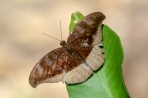 The Grey Count, Tanaecia lepidea