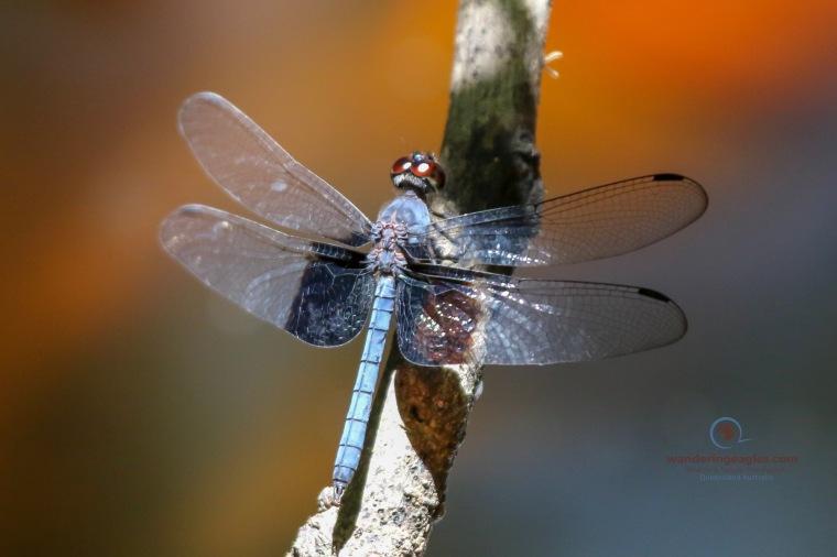 Tree Hugger Dragonfly - Tyriobapta torrida