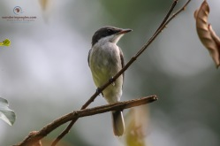 Black-winged Flycatcher-Shrike (Female)