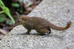 The common shrew