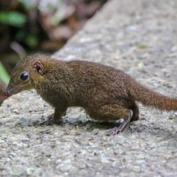 The common shrew