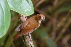 Eyebrowed Jungle Flycatcher