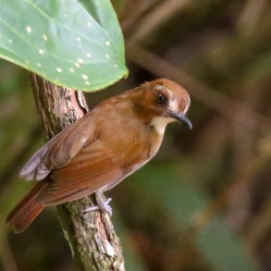 Eyebrowed Jungle Flycatcher