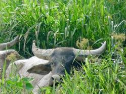 Water Buffaloes on the roadside to Crocker Ranges