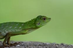 Green Crested Lizard ( Bronchocela cristatella )