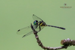 Pigmy Skimmer - Tetrathemis platyptera