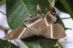 Tropical Swallowtail Moth ( Lyssa zampa ).