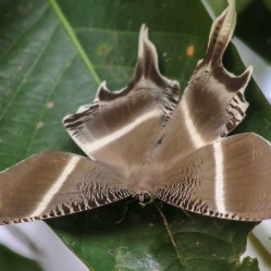 Tropical Swallowtail Moth ( Lyssa zampa ).
