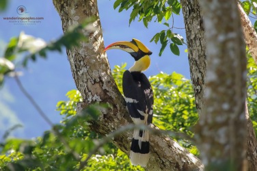 The Magnificent Great Hornbill