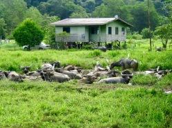 A happy Water Buffalo herd on way to Crocker Ranges