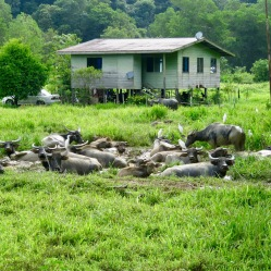 A happy Water Buffalo herd on way to Crocker Ranges