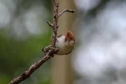 Chestnut-crested yuhina - Staphida everetti