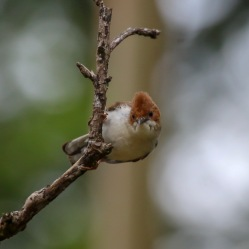 Chestnut-crested yuhina - Staphida everetti